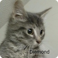 Adopt A Pet :: Diamond - Brainardsville, NY