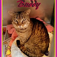 Adopt A Pet :: Buddy - Berkeley Springs, WV