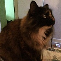 Domestic Longhair Cat for adoption in Montreal, Quebec - Canelle