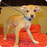 Adopt A Pet :: Dolly - Plainfield, CT