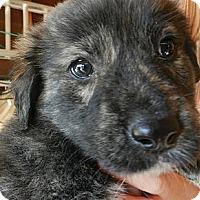 Adopt A Pet :: Honeybear - South Jersey, NJ