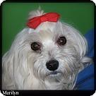Adopt A Pet :: Bordentown NJ - Marilyn