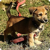 Adopt A Pet :: Allie - Windham, NH