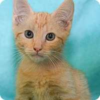 Adopt A Pet :: Soybean - Reston, VA