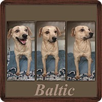 Adopt A Pet :: Baltic meet me 12/18 - East Hartford, CT
