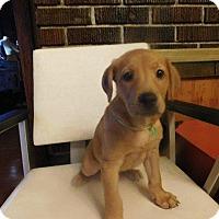 Adopt A Pet :: Shepard - Aurora, CO