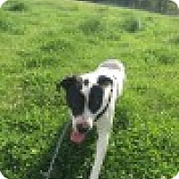 American Pit Bull Terrier Mix Dog for adoption in Waxhaw, North Carolina - Bandit