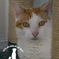Domestic Shorthair Cat for adoption in Baton Rouge, Louisiana - Taz