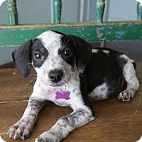 Adopt A Pet :: Niles - San Antonio, TX