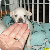 Adopt A Pet :: 2 male chihuahua mixes - mooresville, IN