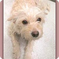 Adopt A Pet :: Missy Molly 23708 - Pampa, TX