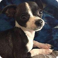 Adopt A Pet :: Scamp - Manhattan Beach, CA