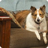 Sheltie, Shetland Sheepdog Mix Dog for adoption in Anchorage, Alaska - Sophia