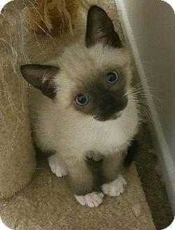 Siamese Kitten for adoption in Yorba Linda, California - Estee