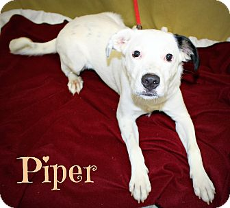 Australian Shepherd/Collie Mix Dog for adoption in Melbourne, Kentucky - Piper