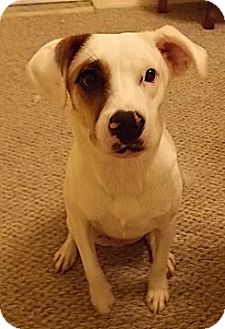 Pointer/Beagle Mix Dog for adoption in Orlando, Florida - Zeno
