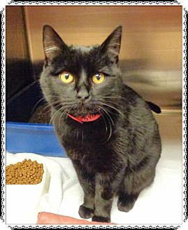 Domestic Shorthair Cat for adoption in Marietta, Georgia - FIONA-available 12/02