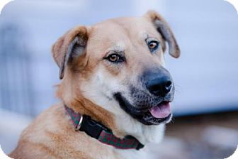 Shepherd (Unknown Type) Mix Dog for adoption in Denver, Colorado - Susie (Shepherd X)