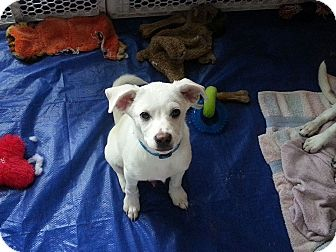 Australian Cattle Dog/Labrador Retriever Mix Puppy for adoption in Flemington, New Jersey - Dallas