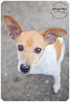 Rat Terrier Mix Dog for adoption in Seattle c/o Kingston 98346/ Washington State, Washington - Leo