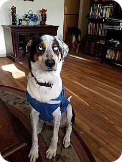 Bluetick Coonhound/Siberian Husky Mix Dog for adoption in Burlington, New Jersey - Rodney