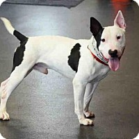 Bull Terrier Dog for adoption in Scotia, New York - SPUDS