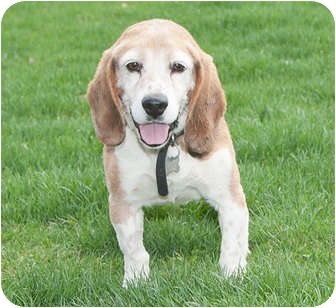 Beagle Dog for adoption in Howell, Michigan - Moe