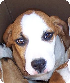 Boxer/St. Bernard Mix Puppy for adoption in Metamora, Indiana - Karla