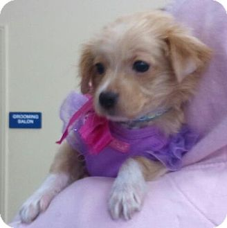 Pomeranian Mix Puppy for adoption in Encinitas, California - Chloe