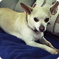 Chihuahua Mix Dog for adoption in Virginia Beach, Virginia - Stevie