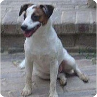Rat Terrier/Jack Russell Terrier Mix Dog for adoption in Houston, Texas - Sammy