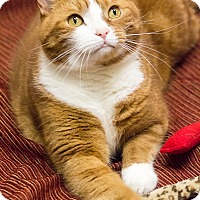 Adopt A Pet :: Mister Whiskers - Chicago, IL