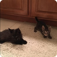 Adopt A Pet :: Jarrod & Licorice - Chicago, IL