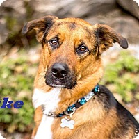 Adopt A Pet :: Duke - Loves People! - Huntsville, ON