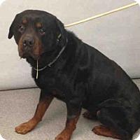 Rottweiler Mix Dog for adoption in Whitestone, New York - Bronx