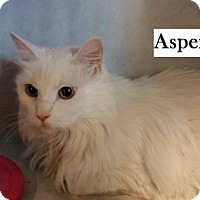 Adopt A Pet :: Aspen - Lakewood, CO