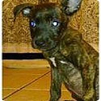 Adopt A Pet :: Brinn - Austin, TX