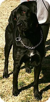 Rottweiler Mix Dog for adoption in Ada, Oklahoma - Aurora