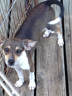Chihuahua/Rat Terrier Mix Puppy for adoption in Shannon, Georgia - nikki