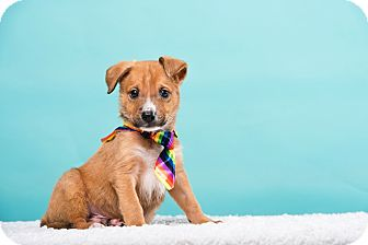 Terrier (Unknown Type, Small)/Spaniel (Unknown Type) Mix Dog for adoption in Houston, Texas - Harvey