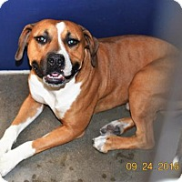 Boxer/Pit Bull Terrier Mix Dog for adoption in San Jacinto, California - Axel