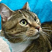 Domestic Shorthair Cat for adoption in Basehor, Kansas - Rocky