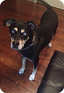 Husky/Rottweiler Mix Dog for adoption in Warrenton, Missouri - Foster Home for Frankie