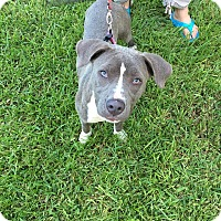 Adopt A Pet :: Harper - Loxahatchee, FL