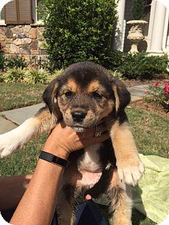 Siberian Husky/Labrador Retriever Mix Puppy for adoption in Roswell, Georgia - Camaro