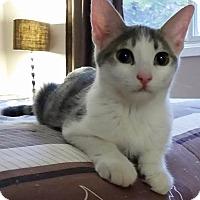 Domestic Shorthair Cat for adoption in Mississauga, Ontario, Ontario - Mason