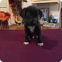 Adopt A Pet :: Brady - Kittery, ME