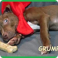 Adopt A Pet :: Grumpy - Batesville, AR