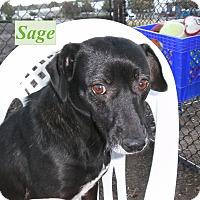 Adopt A Pet :: Sage - El Cajon, CA