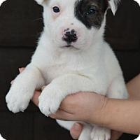 Adopt A Pet :: Brooke - Danbury, CT